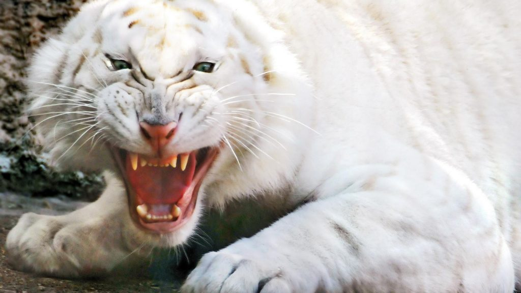 white-tiger-striped-jaws-eerie-PIC-MCH0116348-1024x576 Jaws Desktop Wallpaper 24+