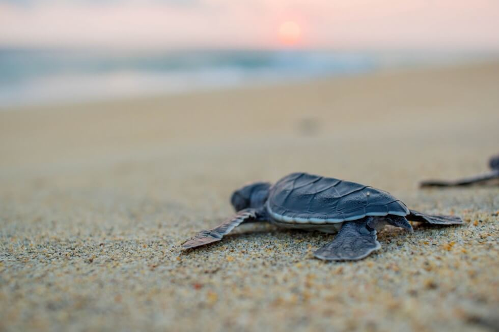 Baby-Sea-Turtle-Headed-to-the-Ocean-at-Sunset-x-PIC-MCH043244 Baby Turtle Wallpapers 32+
