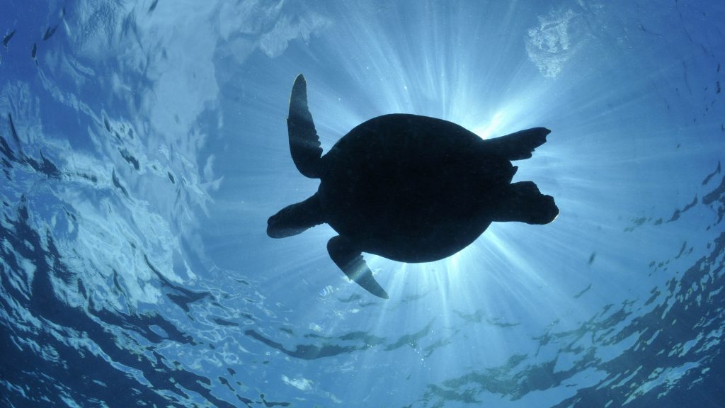 Beautiful-Turtle-Desktop-Wallpaper-PIC-MCH045171-1024x576 Baby Turtle Wallpapers 32+