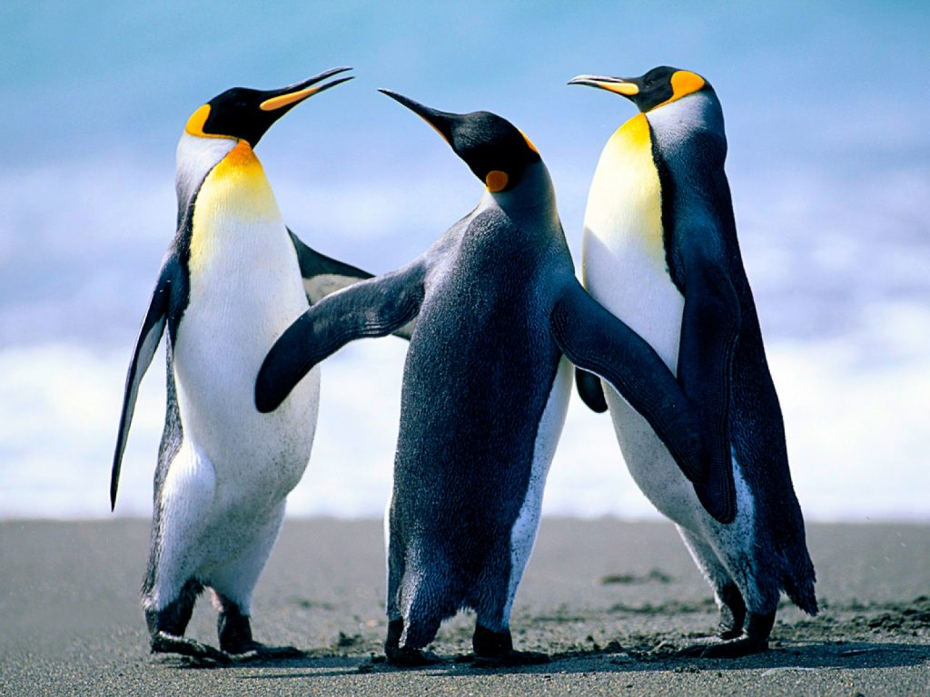 Penguin-HD-Wallpapers-and-Pictures-PIC-MCH094266-1024x768 Penguin Wallpaper Hd 37+