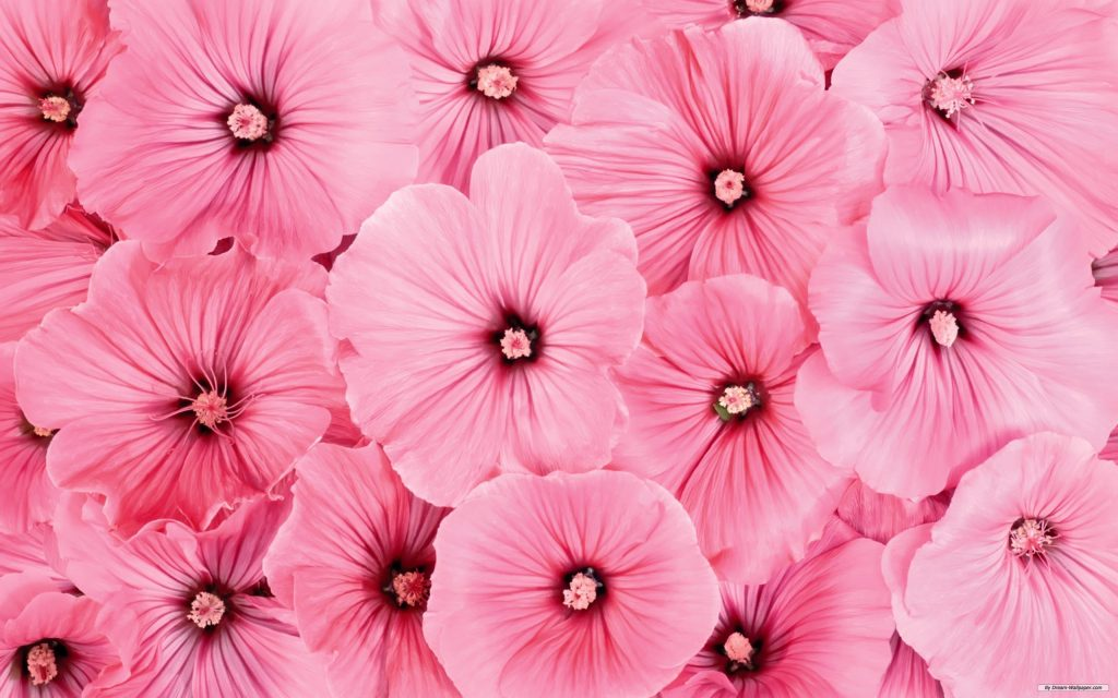 Pink-Flower-Picture-Wallpaper-Hd-Pics-Full-Desktop-Natures-For-Computer-PIC-MCH095200-1024x640 Wallpapers Pink Flowers 42+