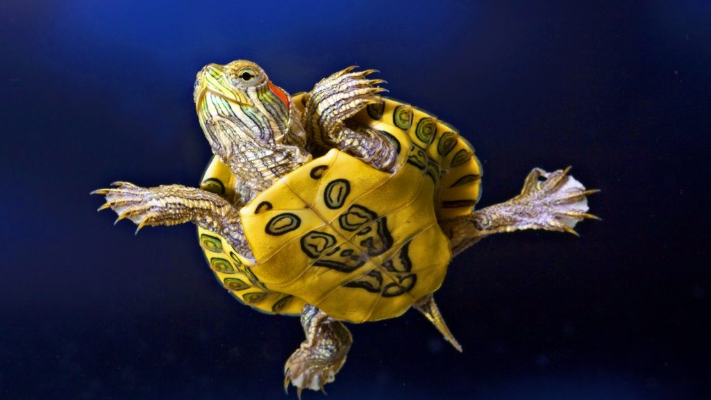 Turtle-Picture-PIC-MCH0108506-1024x576 Funny Turtle Wallpapers 27+