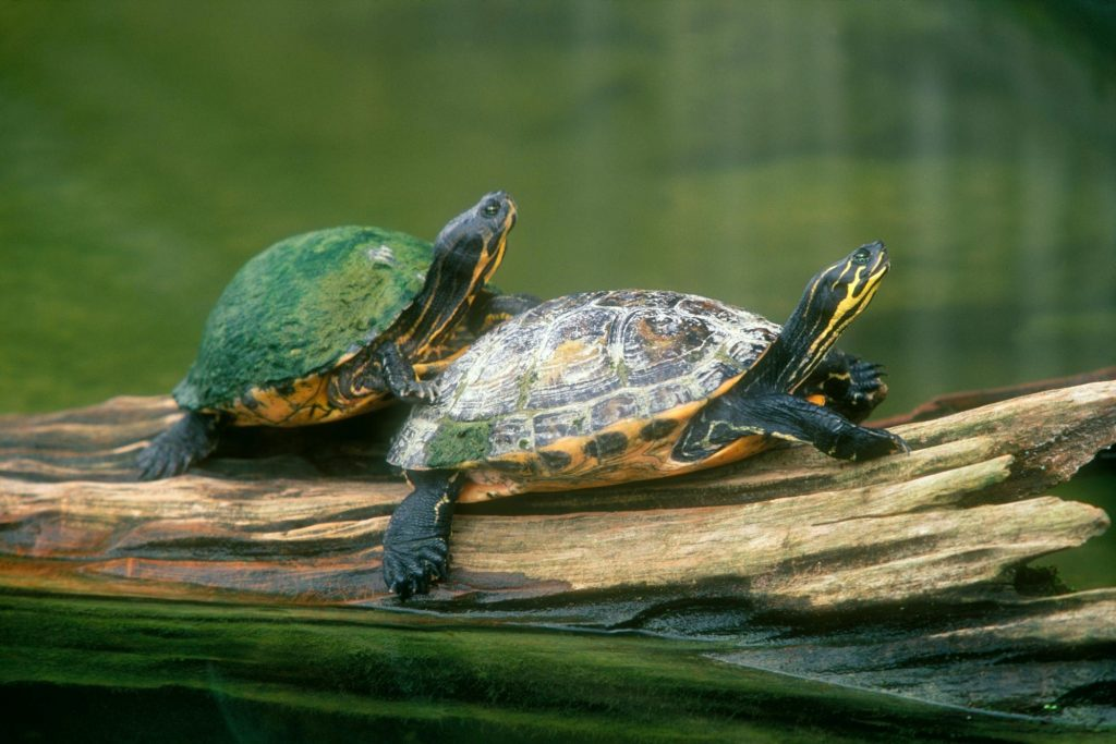 Turtle-Wallpapers-Free-Download-PIC-MCH0108516-1024x683 Baby Turtle Wallpapers 32+