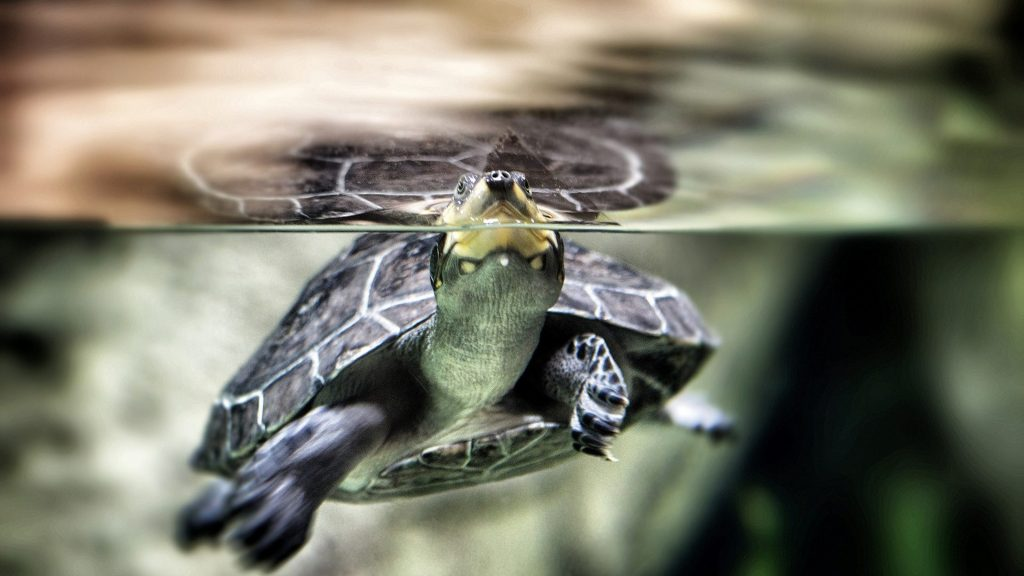 animals-underwater-turtles-turtle-awesome-desktop-backgrounds-x-PIC-MCH040485-1024x576 Awesome Turtle Wallpapers 32+