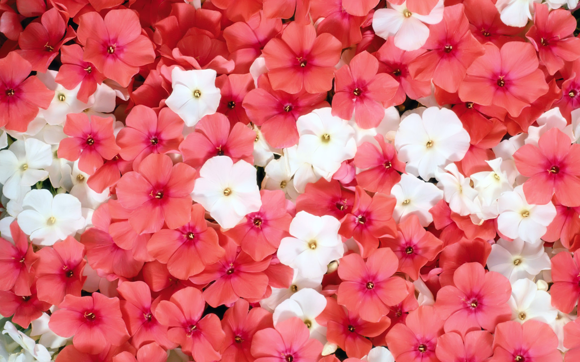 Bright pink flowers wallpaper hd wallpapers pic mch049643 dzbc download mightylinksfo