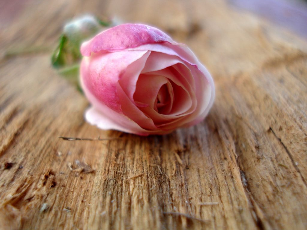 downloadfiles-wallpapers-pink-rose-wallpaper-flowers-nature-PIC-MCH060379-1024x768 Wallpapers Pink Roses 36+