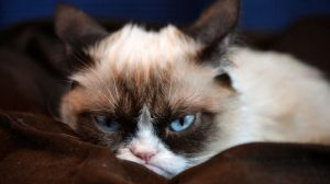 Funny Grumpy Cat Wallpapers 17+