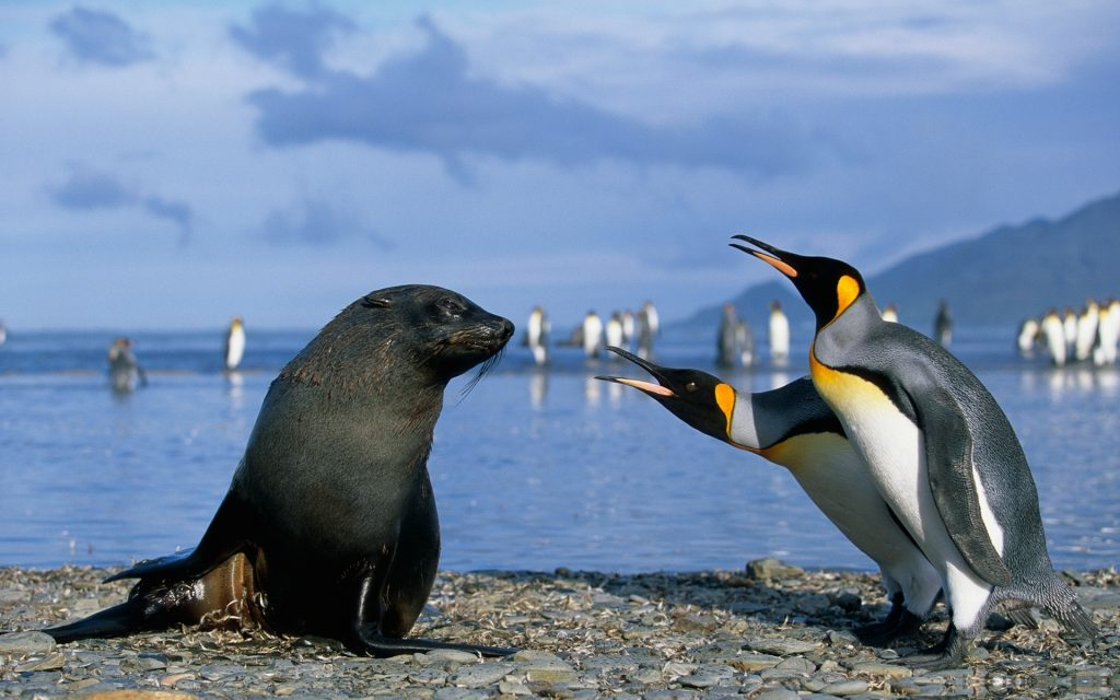 king-penguins-and-a-seal-wallpaper-x-PIC-MCH080061-1024x640 Penguin Wallpaper Hd 37+