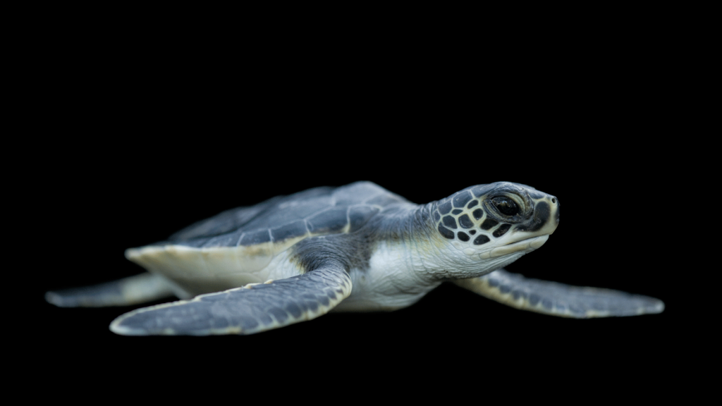 photoark-seaturtle.ngsversion.-PIC-MCH094619-1024x576 Baby Turtle Wallpapers 32+