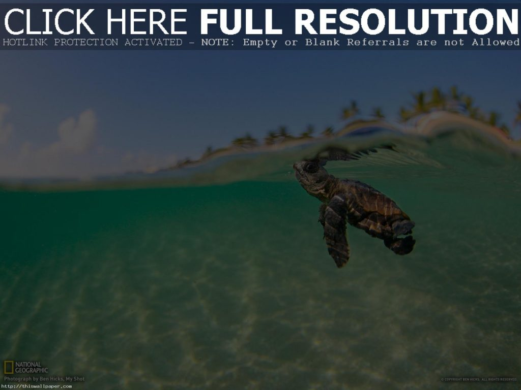pictures-of-baby-sea-turtles-wallpaper-PIC-MCH094862-1024x768 Funny Turtle Wallpapers 27+