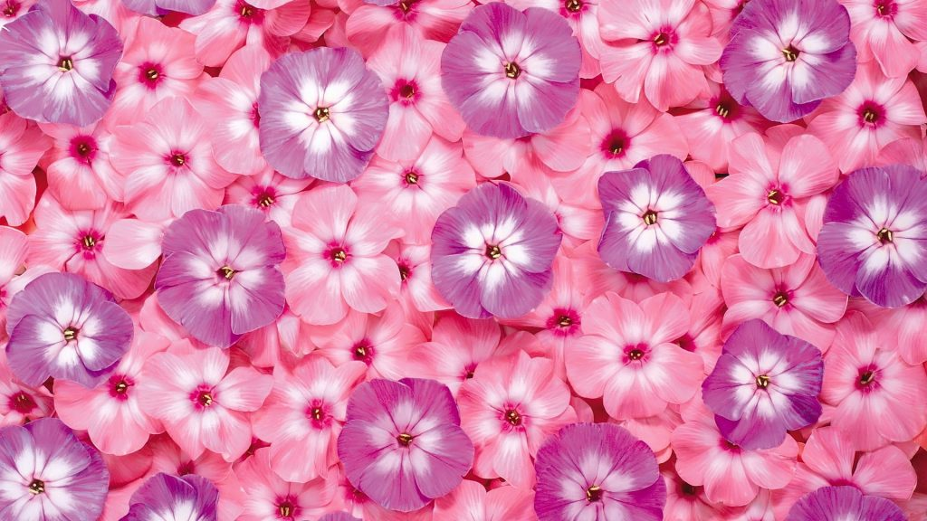 pink-flowers-PIC-MCH04380-1024x576 Wallpapers Pink Flowers 42+