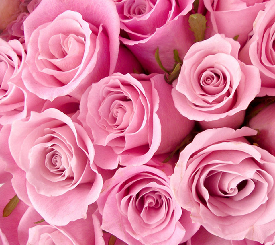 pink-roses-images-PIC-MCH016012 Wallpapers Pink Roses 36+