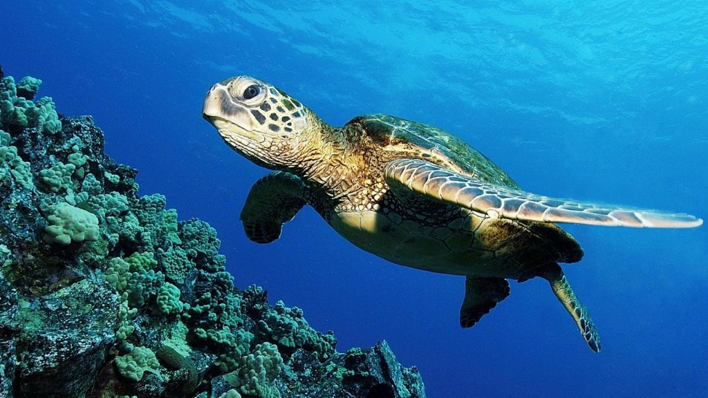 sea-turtle-wallpaper-PIC-MCH0100954-1024x576 Baby Turtle Wallpapers 32+