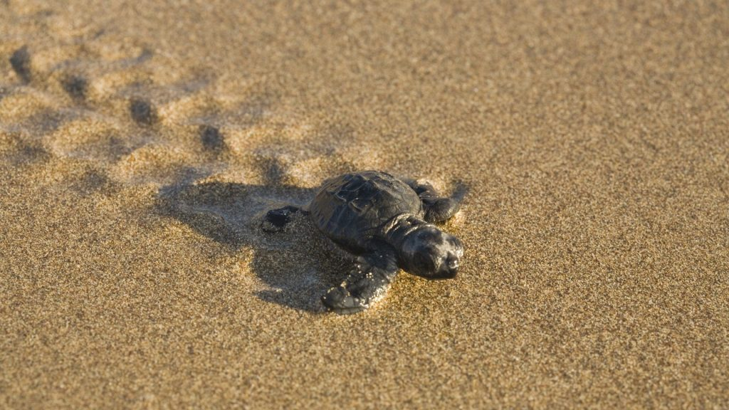 turtle-wallpaper-hd-wallpapers-PIC-MCH0108512-1024x576 Baby Turtle Wallpapers 32+