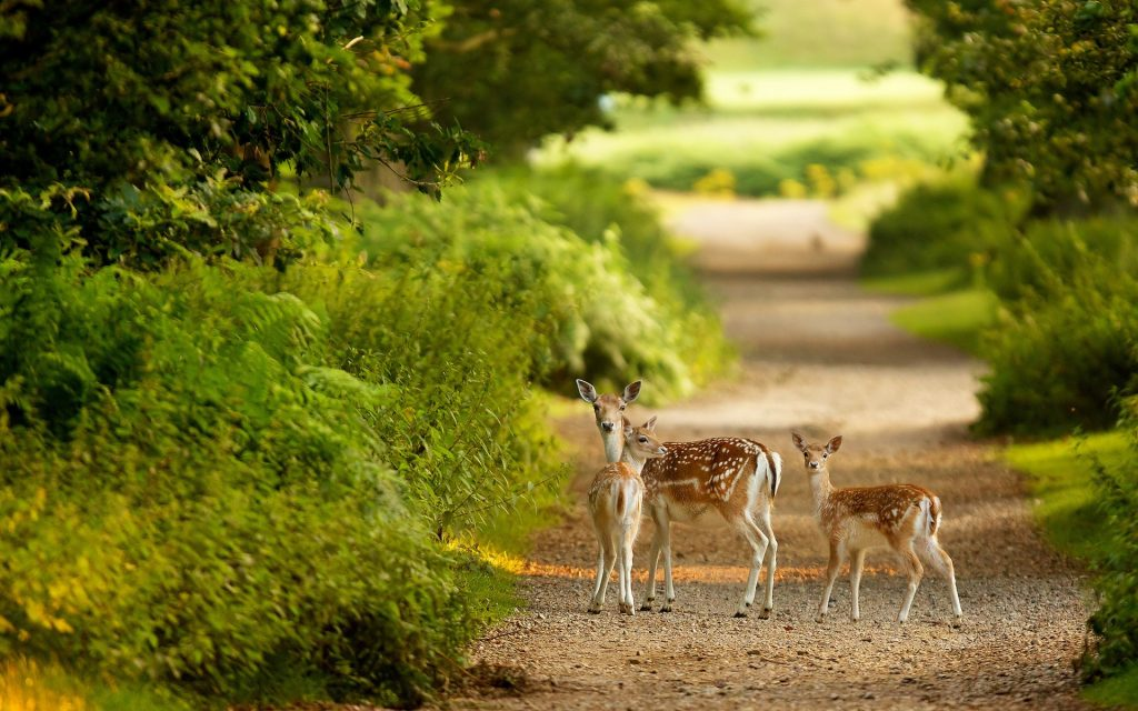 Beautiful-Deer-Desktop-Wallpapers-PIC-MCH044786-1024x640 Deer Wallpaper Images 40+