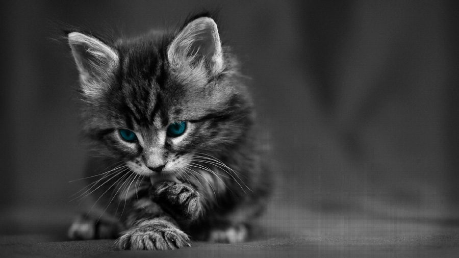 Maine-Coon-kitten-dark-grey-x-PIC-MCH084337 Wallpaper Grey Hd 52+