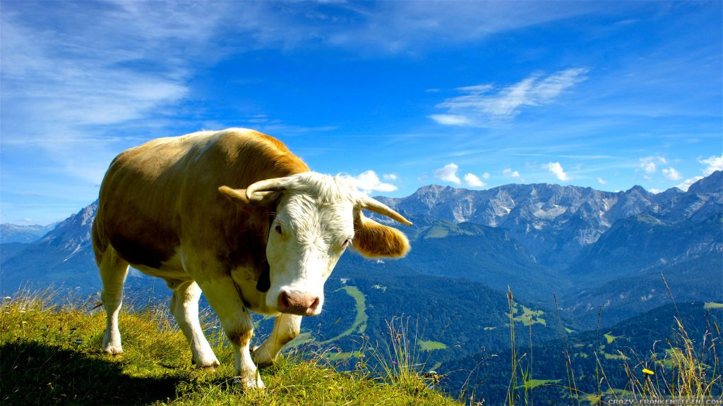 PIC-MCH029744-1024x576 Cow Wallpaper Hd 32+
