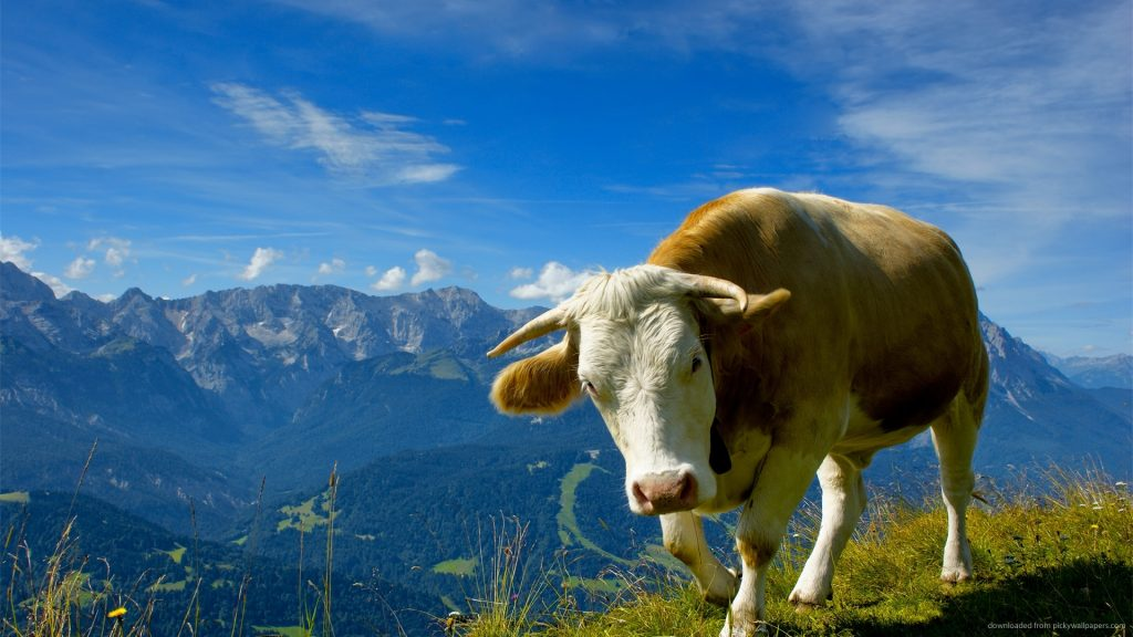 alpine-cow-PIC-MCH039581-1024x576 Cow Wallpaper For Iphone 40+