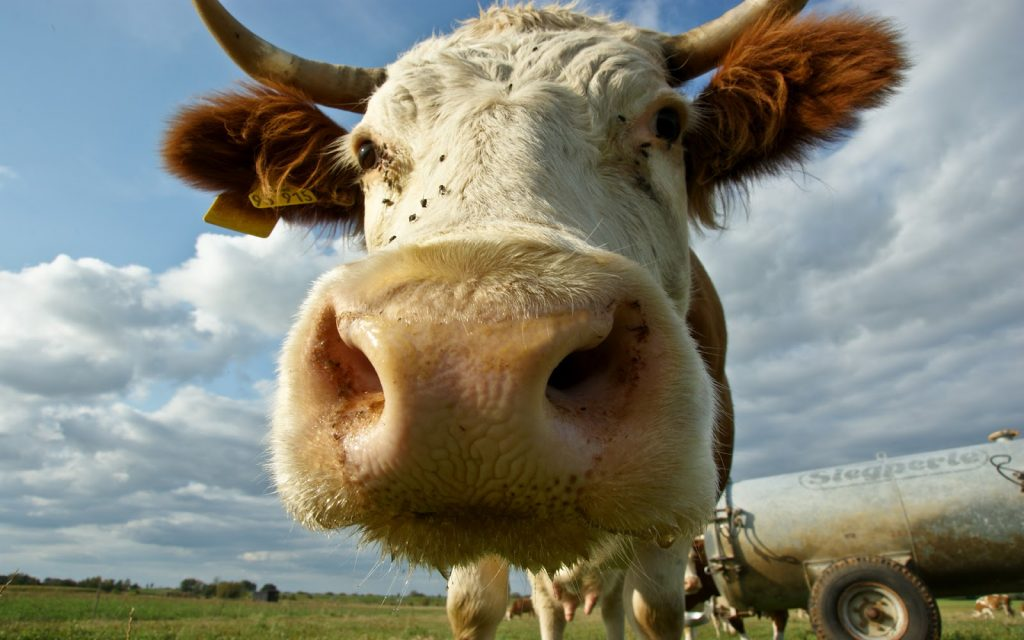 cow-face-wallpaper-pictures-hd-wallpapers-PIC-MCH054614-1024x640 Cow Wallpaper Gallery 28+