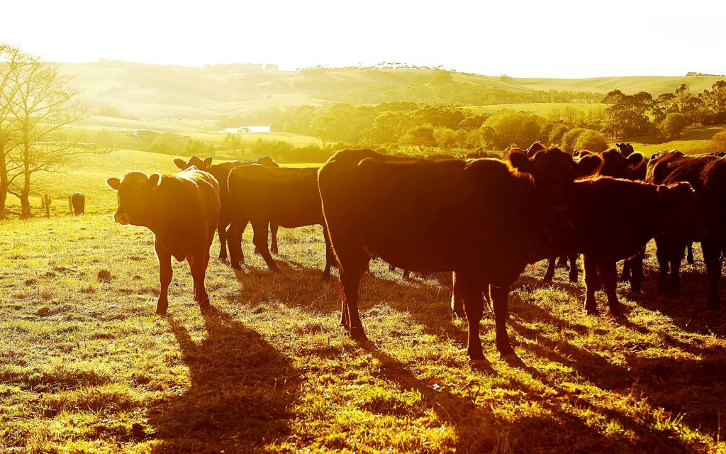 cows-sunset-pasture-PIC-MCH054654-1024x640 Cow Wallpaper Gallery 28+