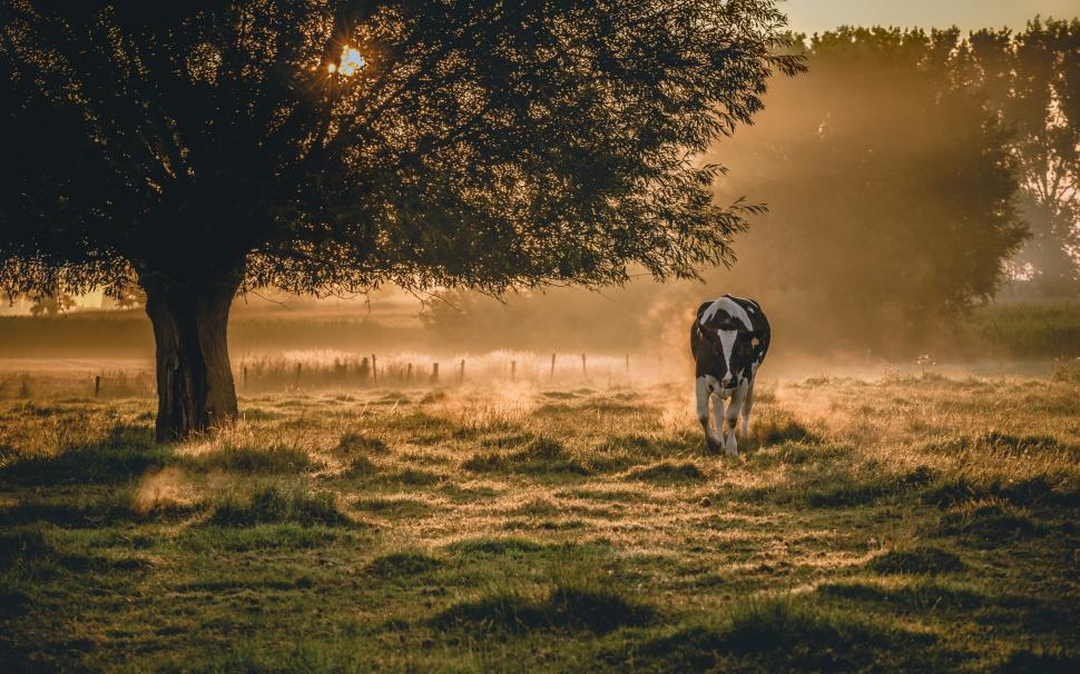 morning-scenery-fog-cow-K-wallpaper-middle-size-PIC-MCH087253 Cow Wallpaper For Iphone 40+