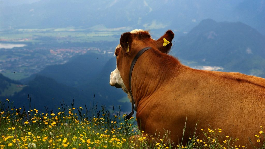 mountains-cow-alpine-panorama-nature-mountains-flowers-cows-fullscreen-wallpaper-x-PIC-MCH087715-1024x576 Cow Wallpaper Gallery 28+
