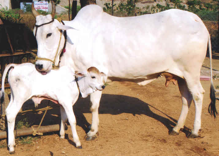 ongole-PIC-MCH092292 Cow Wallpaper Gallery 28+