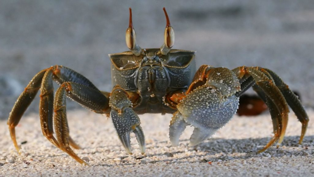 Crab-animal-wallpaper-Hd-x-PIC-MCH054713-1024x576 Crab Wallpaper Hd 17+