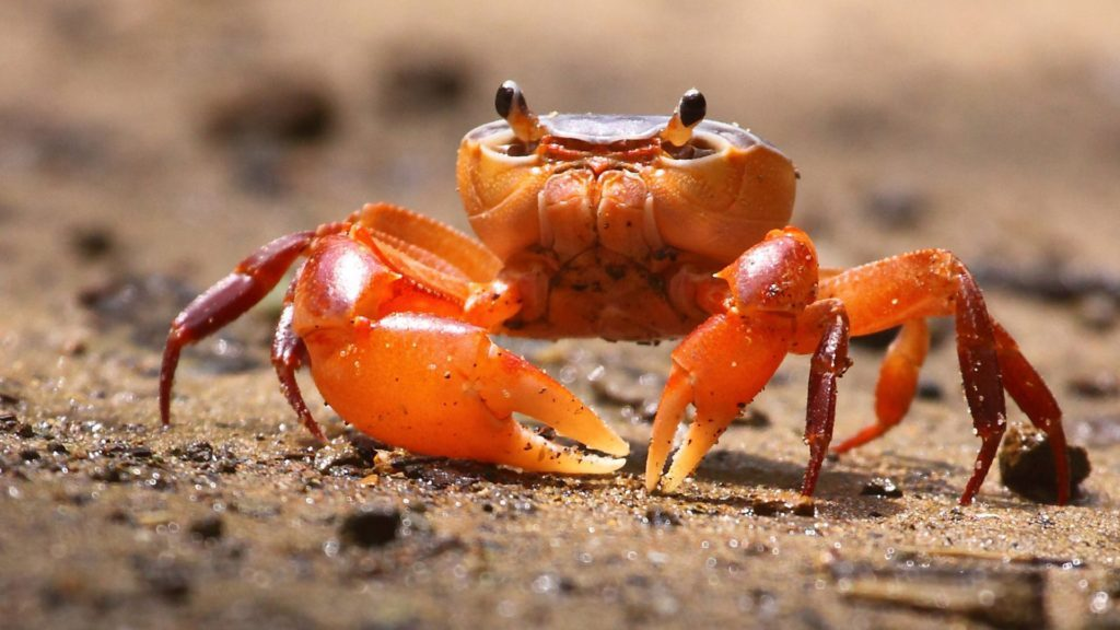 Fiddler-Crab-HD-Backgrounds-x-PIC-MCH063740-1024x576 Crab Wallpaper Hd 17+
