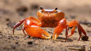 Crab Wallpaper Hd 17+