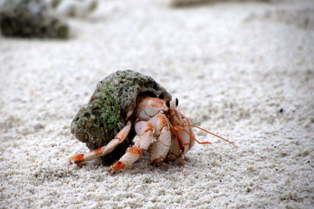 Hermit-Crabs-x-PIC-MCH072894-1024x682 Crab Wallpaper Hd 17+