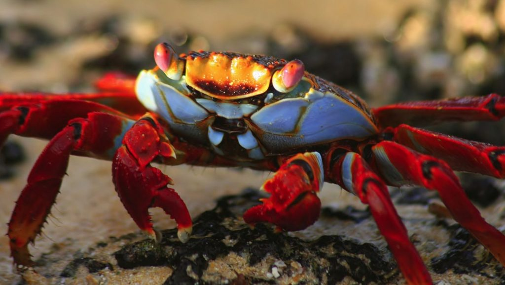 animals-nature-national-crab-green-animal-geographic-wallpapers-pet-x-PIC-MCH040482-1024x577 Cute Crab Wallpaper 17+
