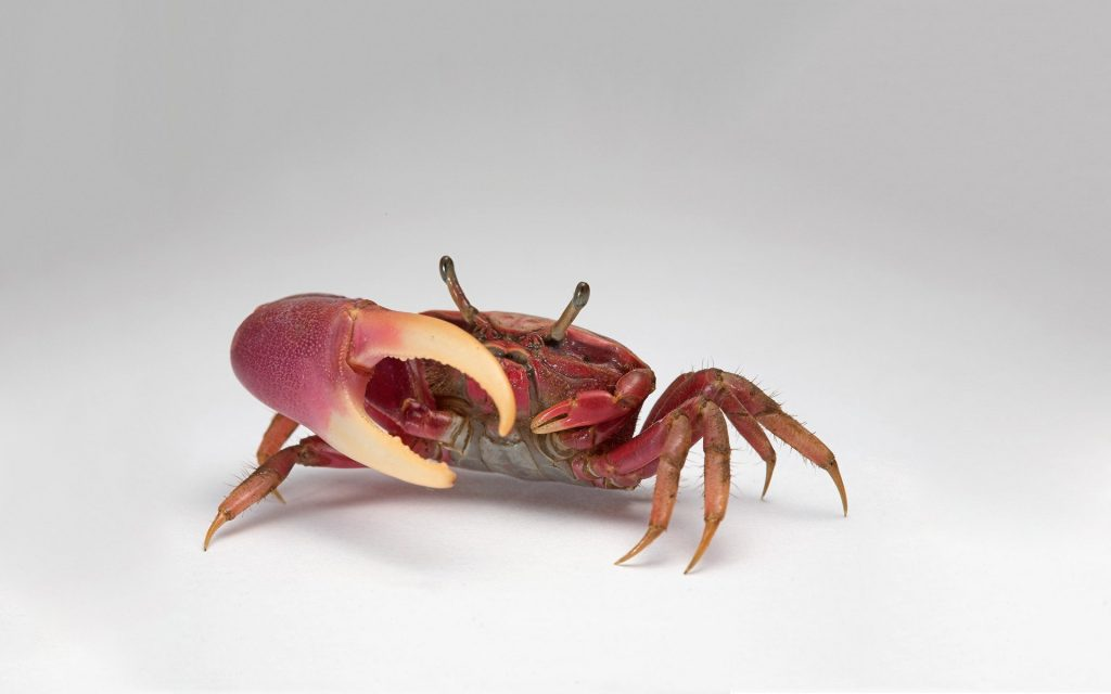 crab-claw-delicious-food-red-PIC-MCH054714-1024x640 Cute Crab Wallpaper 17+
