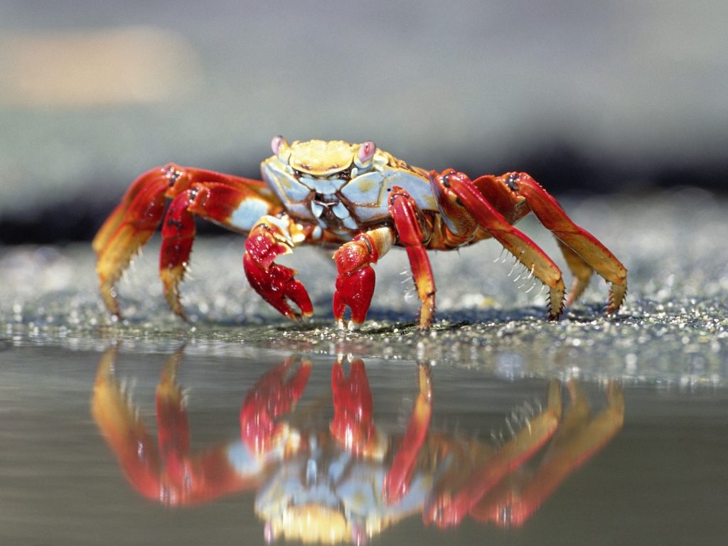 crab-water-claws-PIC-MCH054740-1024x768 Crab Wallpaper Hd 17+