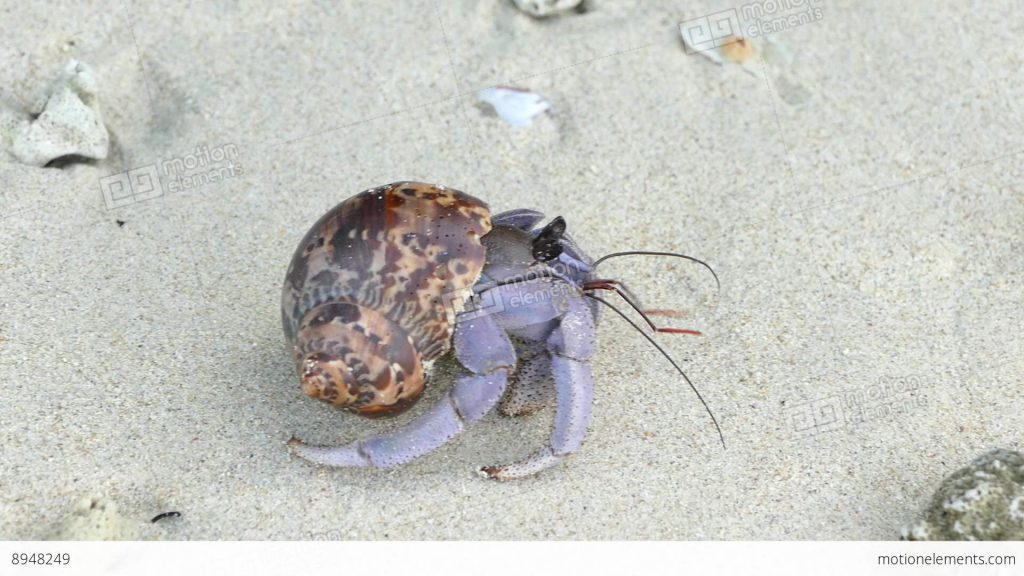 me-hermit-crab-paguroidea-hides-its-shell-for-protection-then-thailand-hd-a-PIC-MCH085267-1024x576 Hermit Crab Wallpaper 24+