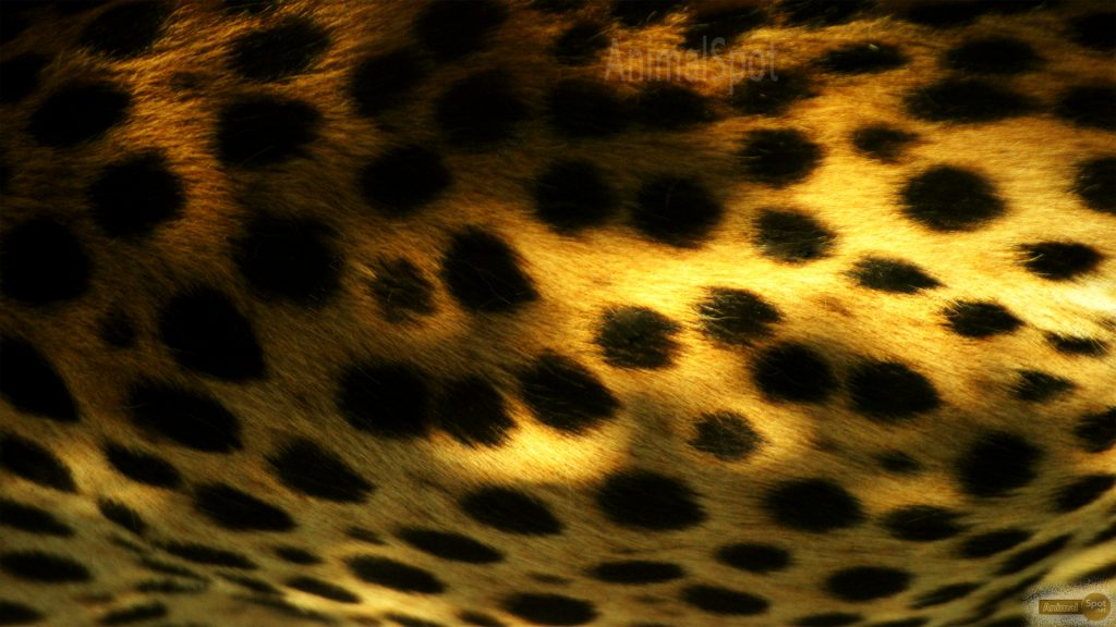 Cheetah-Print-Wallpapers-PIC-MCH052025-1024x576 Squid Wallpaper Print 17+