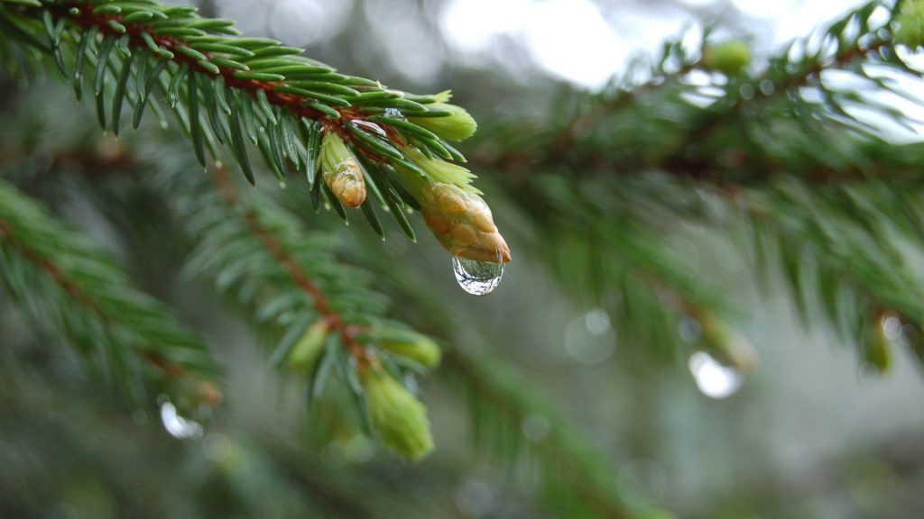 Close-up-nature-trees-simple-branches-pine-tree-x-backgrounds-PIC-MCH053213-1024x576 Pine Tree Wallpaper Background 29+