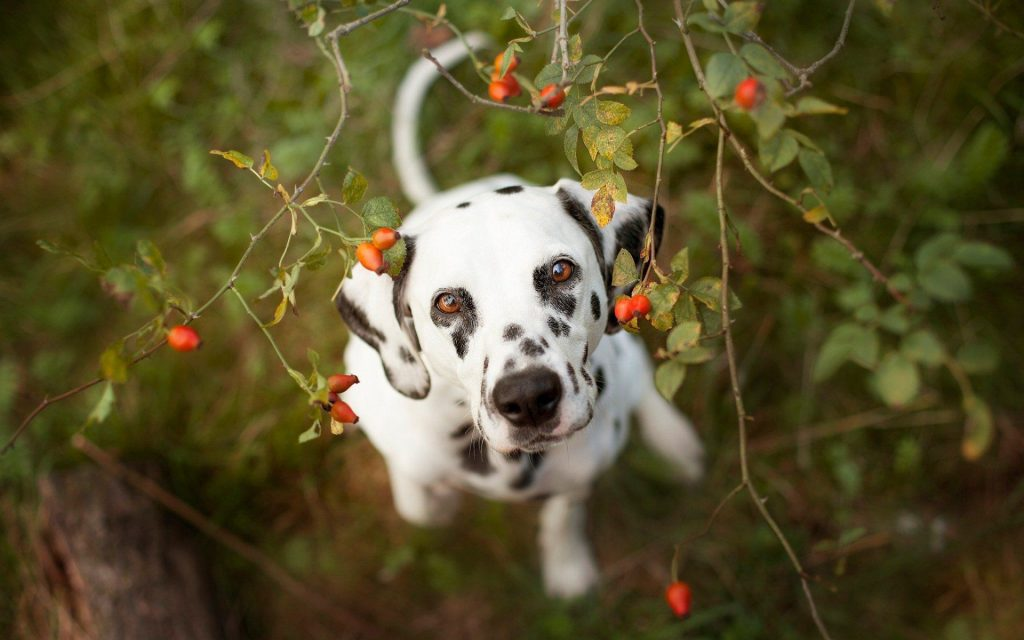 Dalmatian-for-desktop-PIC-MCH056213-1024x640 Dalmatian Wallpaper Border 12+