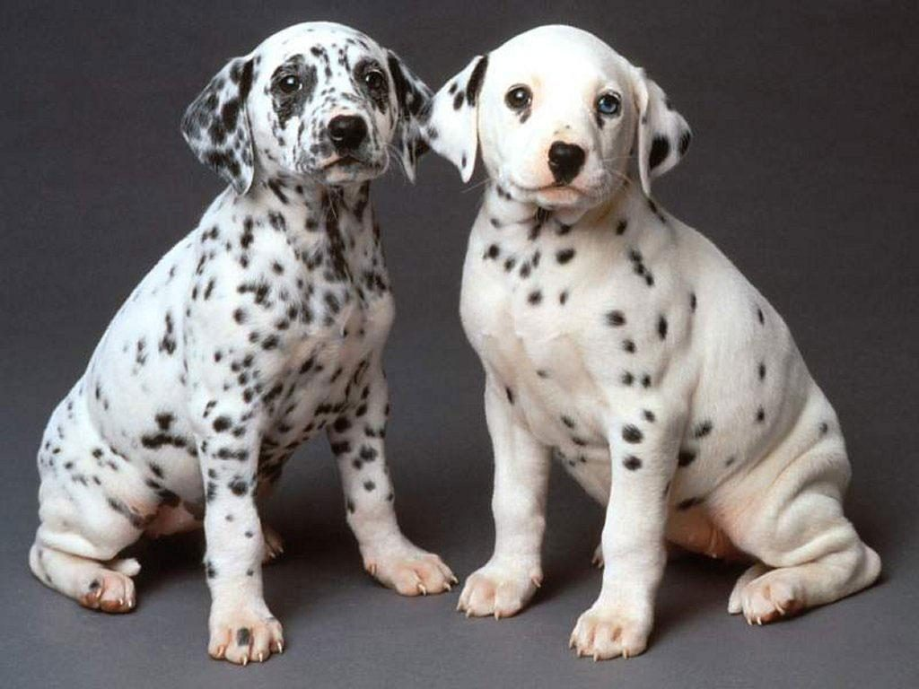 Dalmation-Puppies-Sitting-PIC-MCH056241-1024x768 Dalmatian Puppies Wallpaper 34+