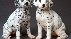 Dalmatian Puppies Wallpaper 34+