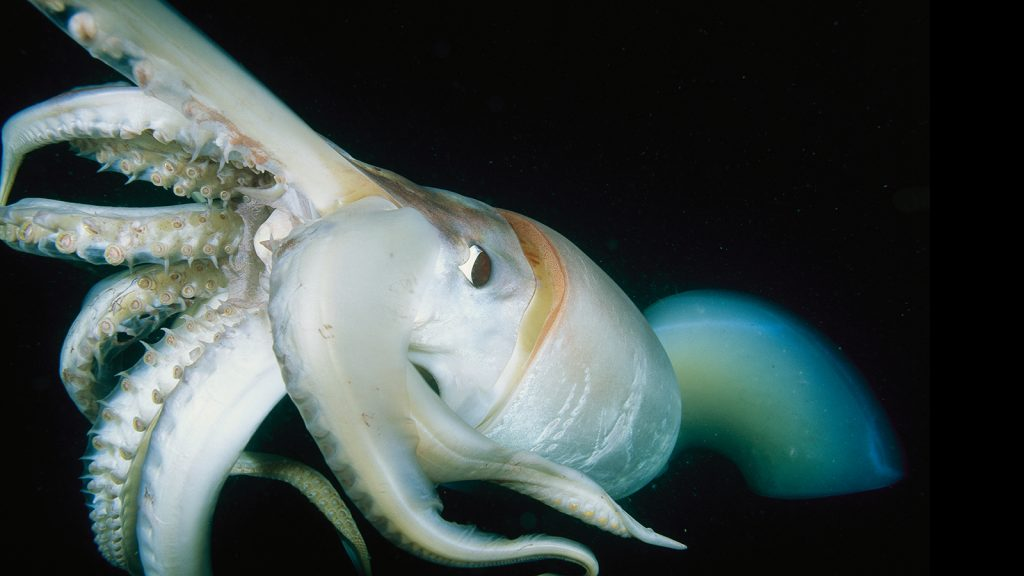 Giant-Squid-Facts-PIC-MCH068441-1024x576 Giant Squid Wallpaper 34+