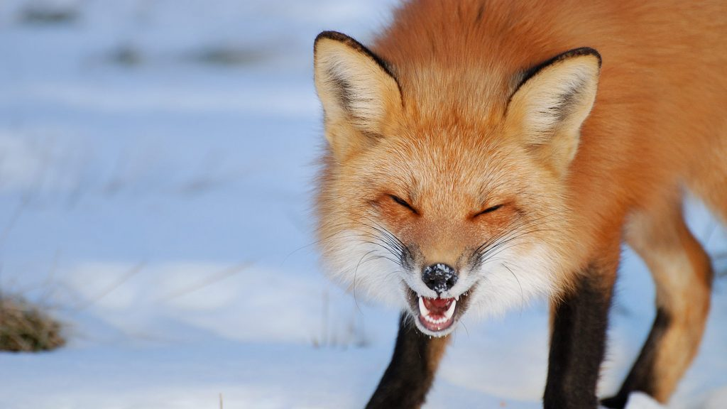 LaughingFox-ROW-x-PIC-MCH081396-1024x576 Bing Wallpaper Images Archive 73+