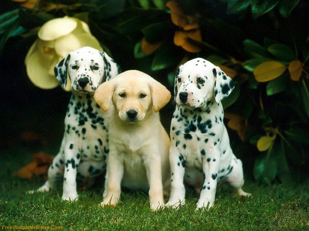 PIC-MCH04082-1024x768 Dalmatian Puppies Wallpaper 34+