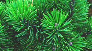 Pine Tree Wallpaper For Walls 36+