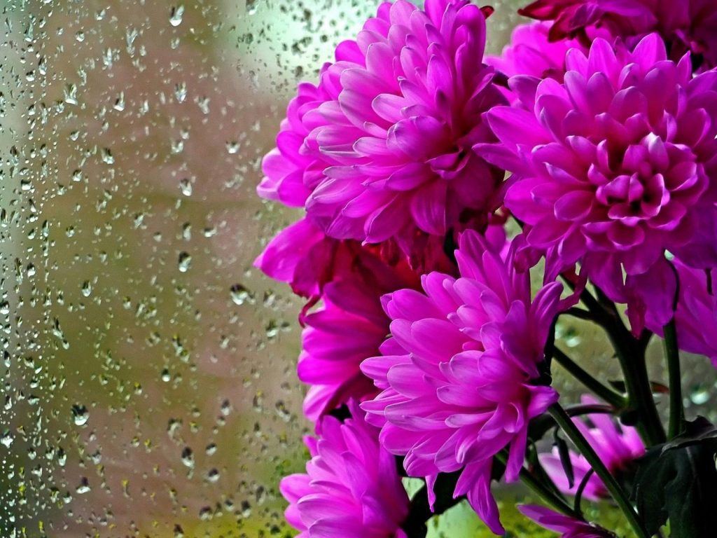 Purple-flowers-chrysanthemums-glass-drops-water-rain-HD-Wallpapers-for-mobile-phones-and-laptops-PIC-MCH096536-1024x768 Hd Rain Wallpapers For Mobile Phones 21+