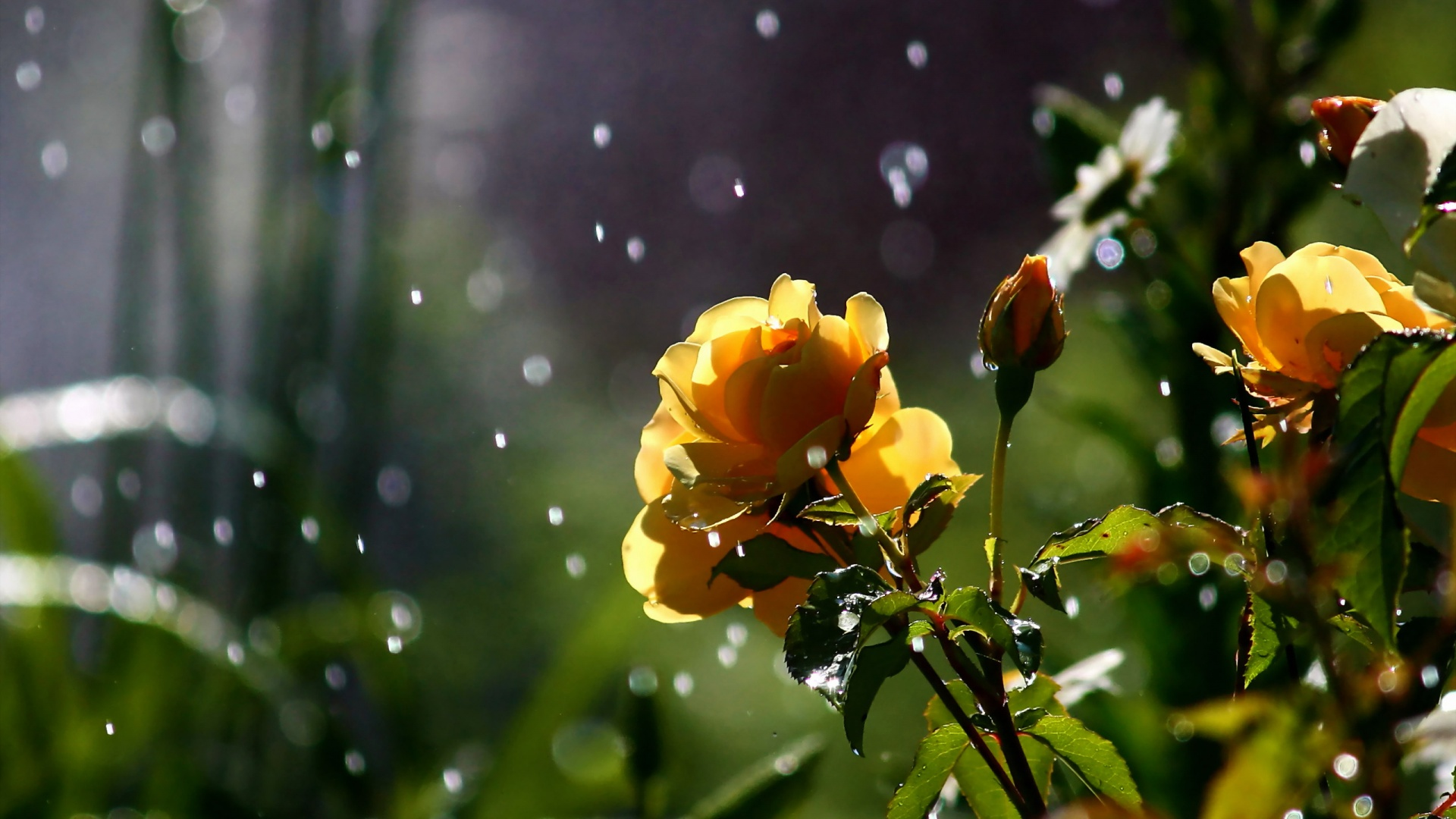 Rose in the rain hd places to wallpaper flowers image with for download thecheapjerseys Gallery