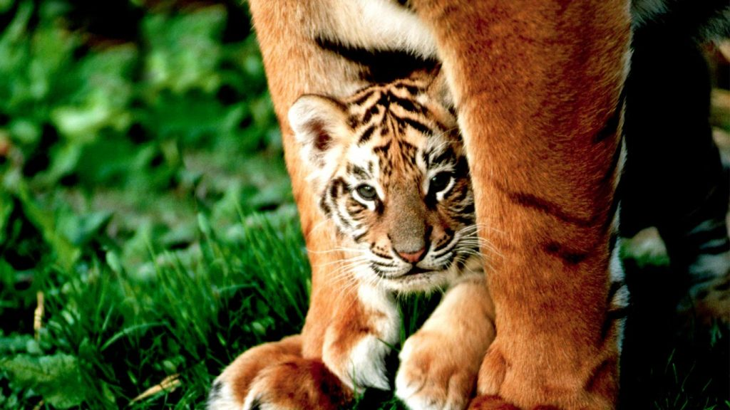 TigerMother-EN-GB-x-PIC-MCH0107455-1024x576 Bing Wallpaper Images Archive 73+