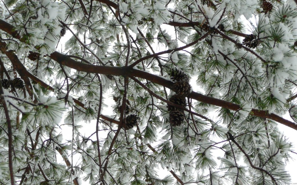 Underneath-the-Snow-Covered-Pine-PIC-MCH0109181-1024x640 Pine Tree Snow Wallpaper 30+