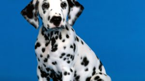 Dalmatian Wallpaper For 25+