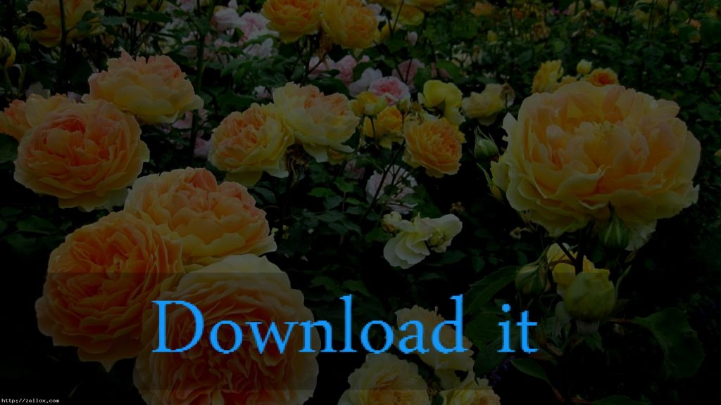 beautiful-yellow-rose-flowers-wallpapers-''-x-PIC-MCH045260-1024x576 Yellow Rose Wallpaper 22+